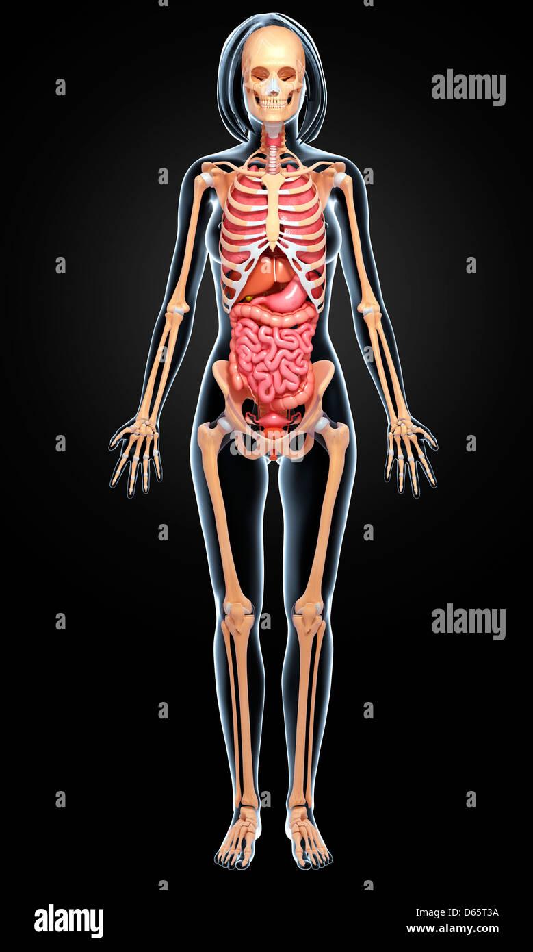 Beste Weibliche Reproduktion Anatomie Bilder - Menschliche Anatomie ...