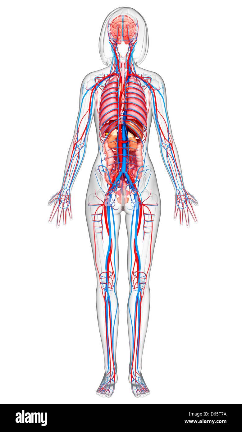 Nett Weibliche Anatomie Für Kinder Ideen - Menschliche Anatomie ...