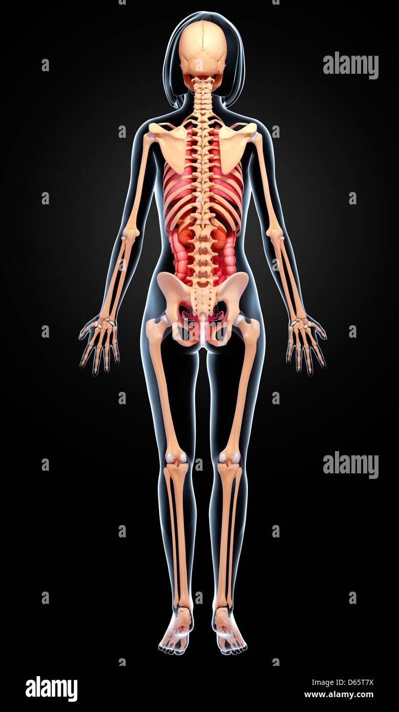 Erfreut Weiblich Knochenanatomie Bilder - Menschliche Anatomie ...