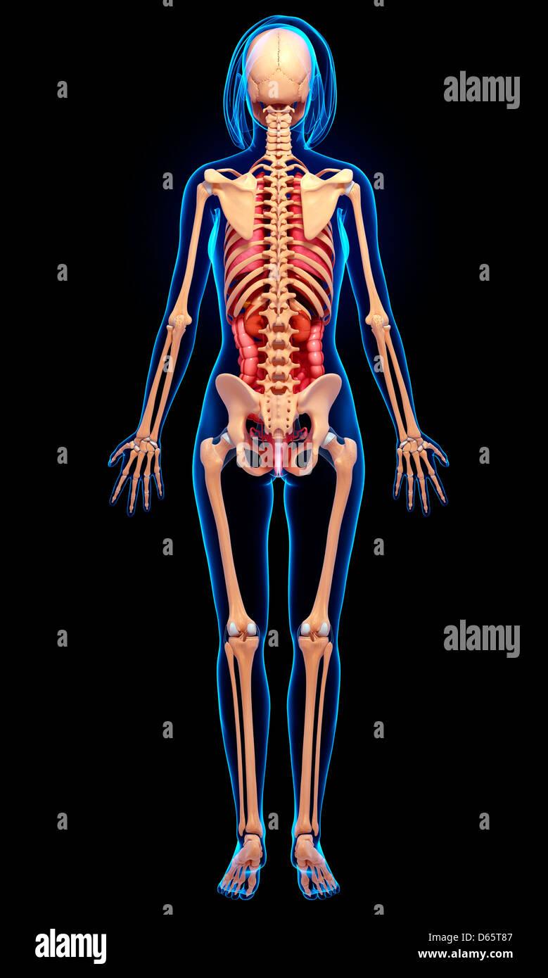 Weibliche Anatomie, artwork Stockfoto, Bild: 55447847 - Alamy