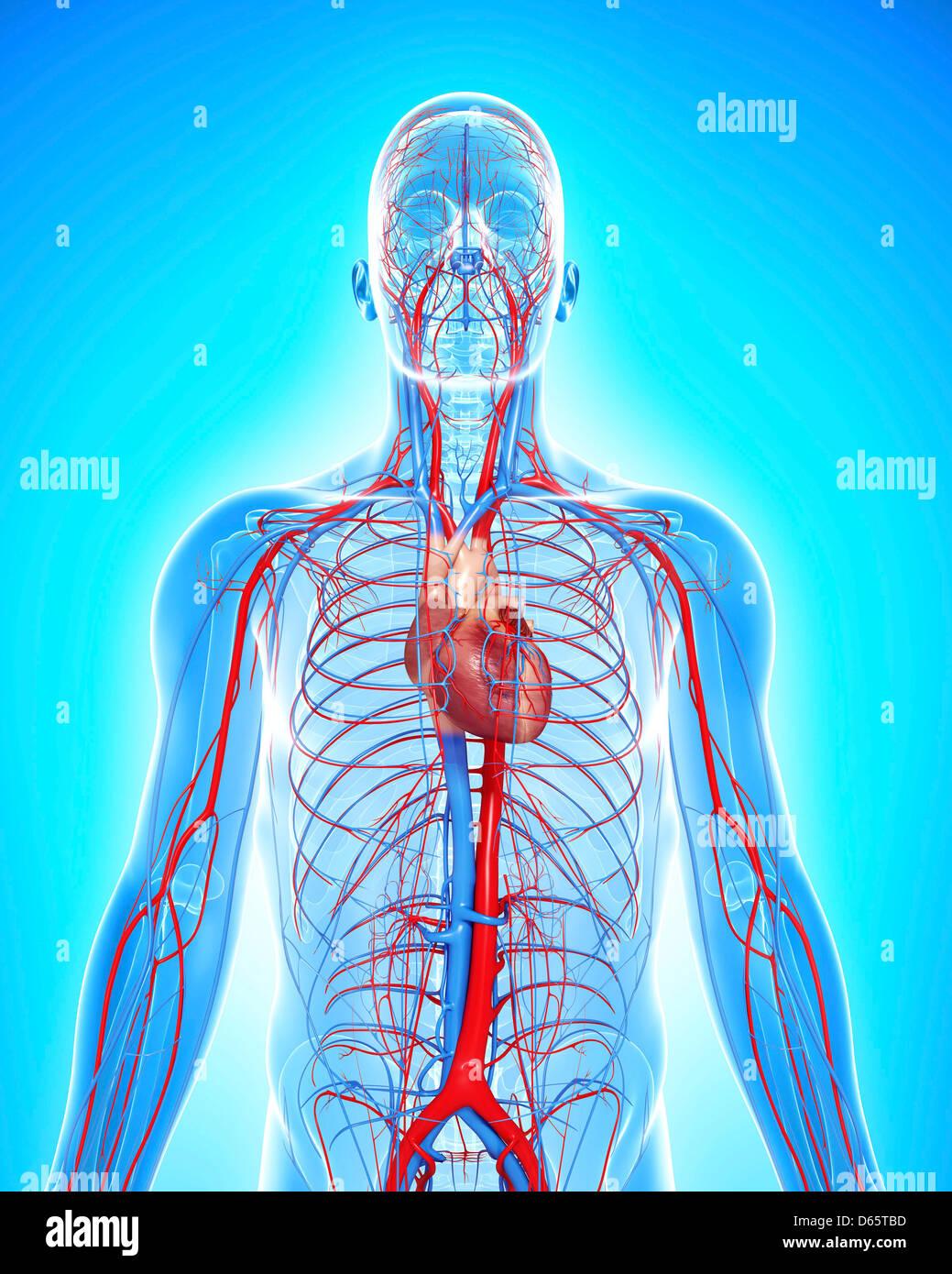Großartig Herz Kreislauf System Besteht Aus Fotos - Menschliche ...