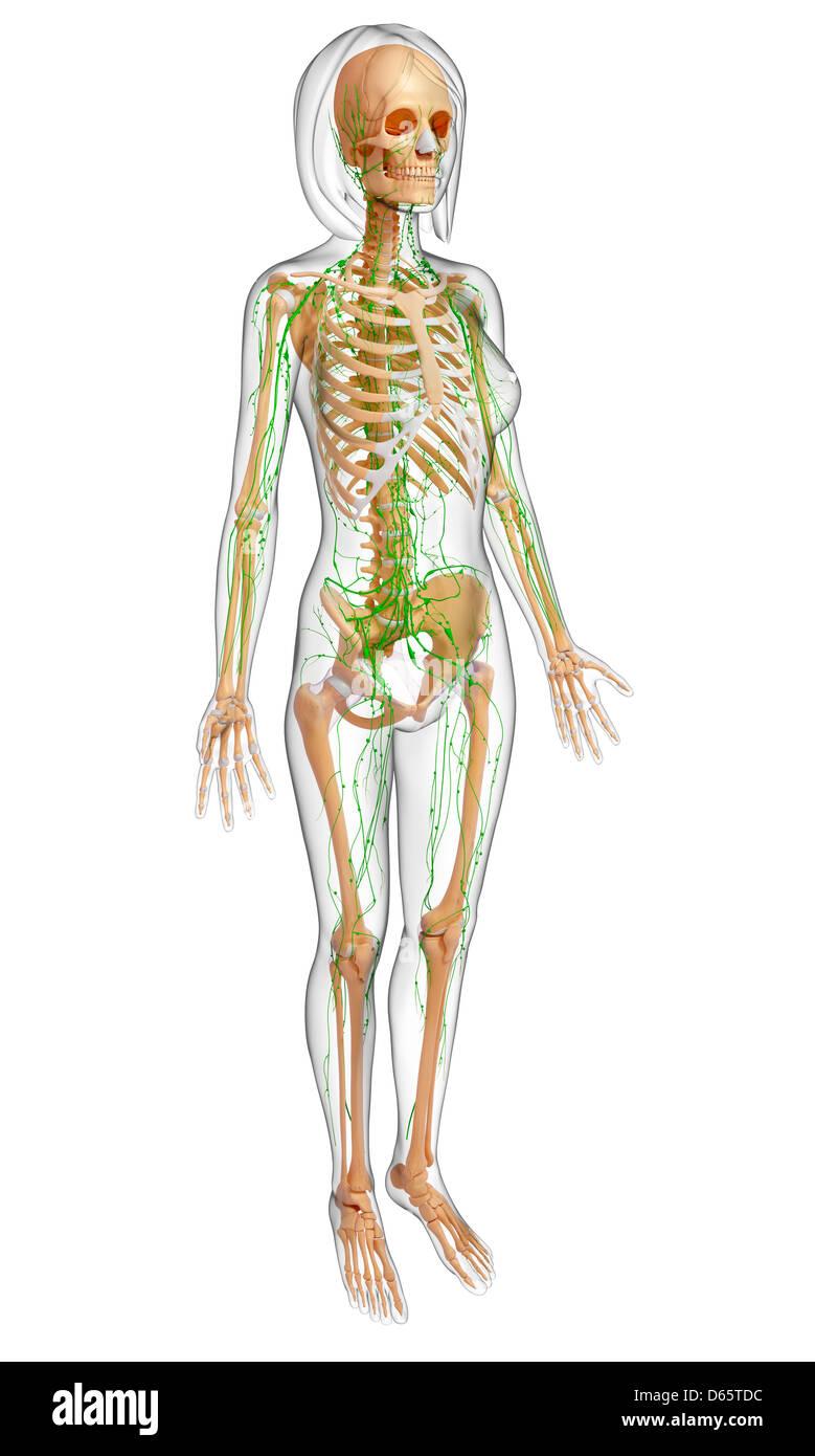 Weibliche Anatomie, artwork Stockfoto, Bild: 55447992 - Alamy
