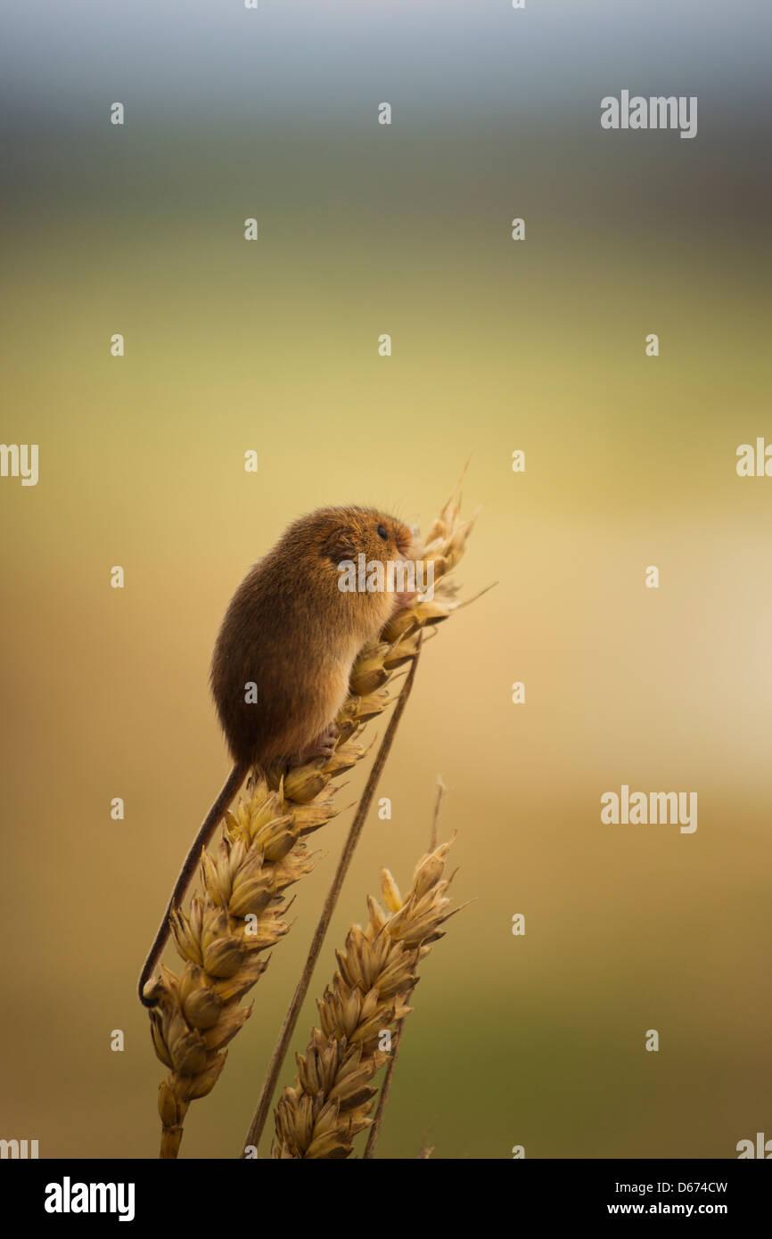 Ein Zwergmaus sitzend auf einer Weizen-Anlage Stockbild