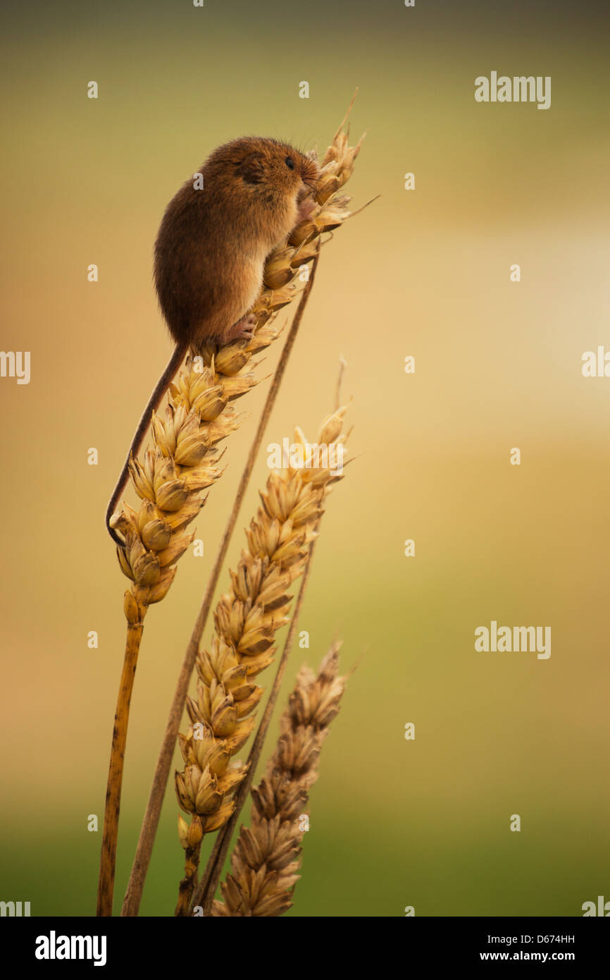 Ein Zwergmaus sitzt an der Spitze einer Weizen-Anlage Stockbild