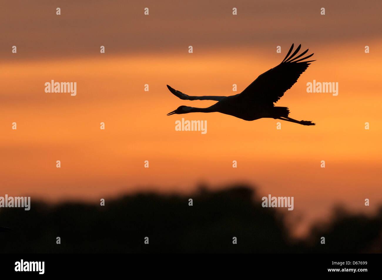 Kran am Himmel, Grus Grus, Deutschland Stockbild