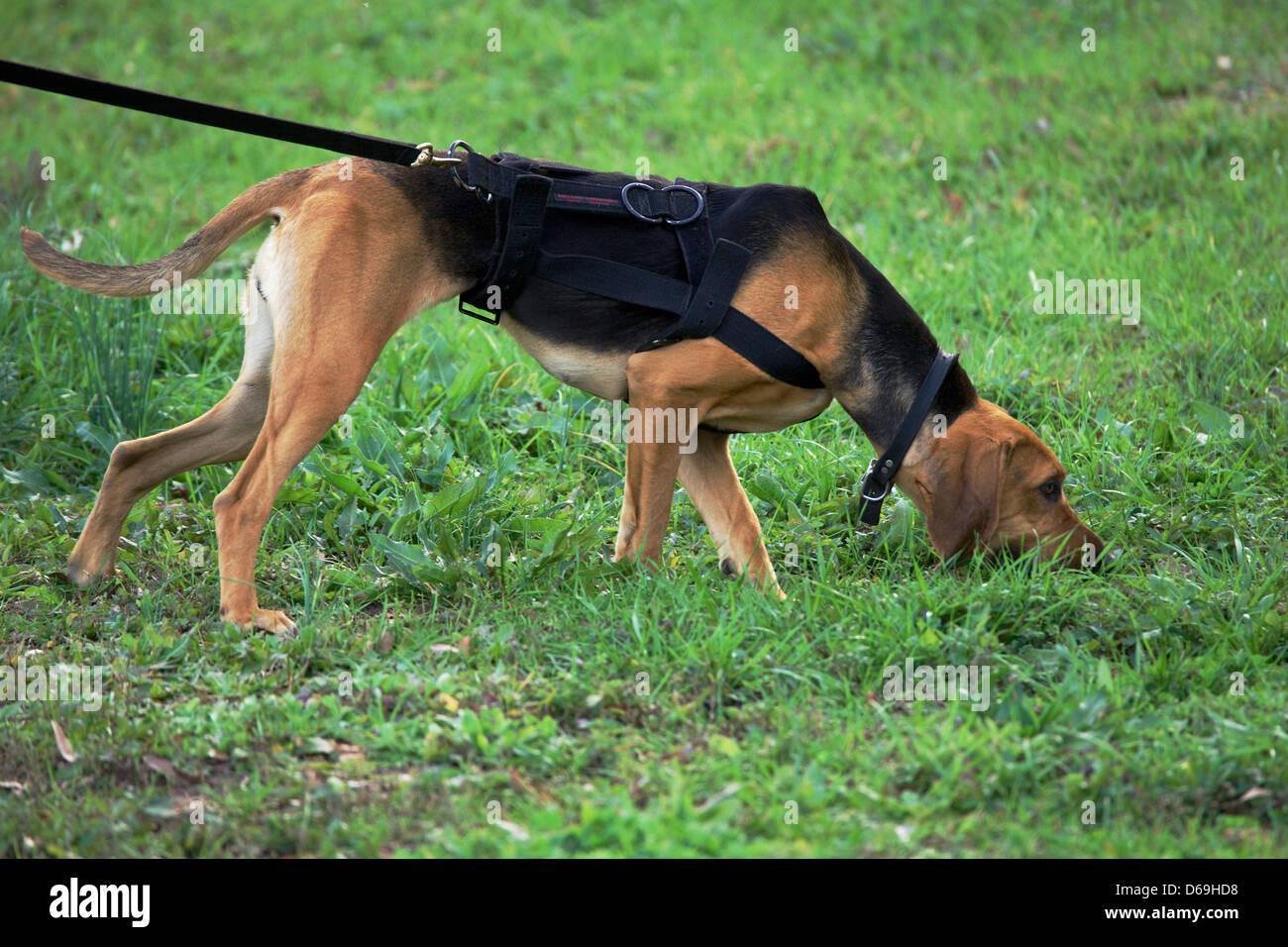 Polizei K9 Hund, Bluthund, Tracking. Stockbild