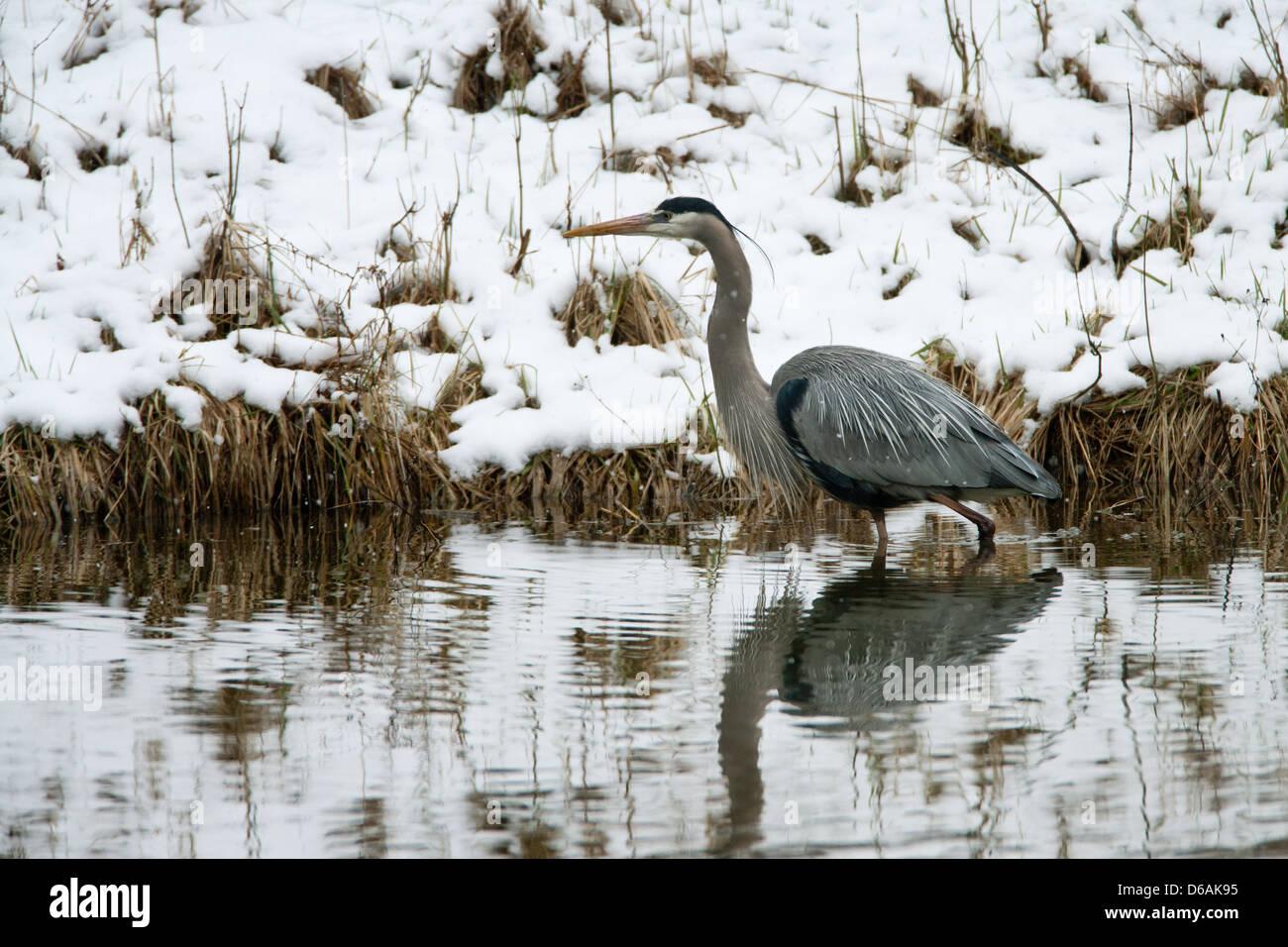 Great Blue Heron im Schnee Stockbild