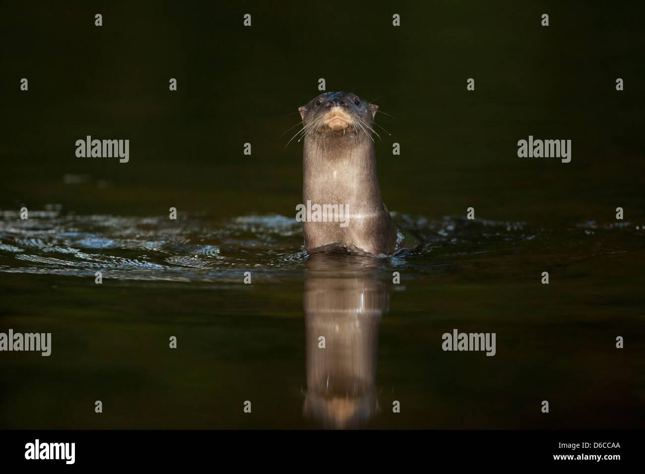 Neotropische Fischotter, sci.name; Lontra Longicaudis, Cocle Provinz, Republik von Panama. Stockfoto