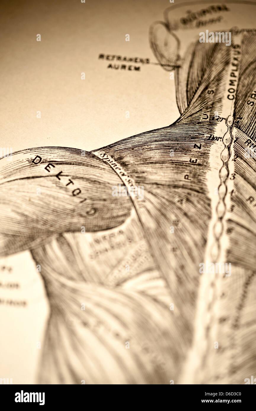 Antike Darstellung, die die Muskeln des Halses & Schulter Stockfoto ...
