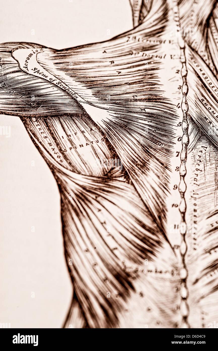 Groß Oberflächenanatomie Des Rückens Fotos - Anatomie Von ...