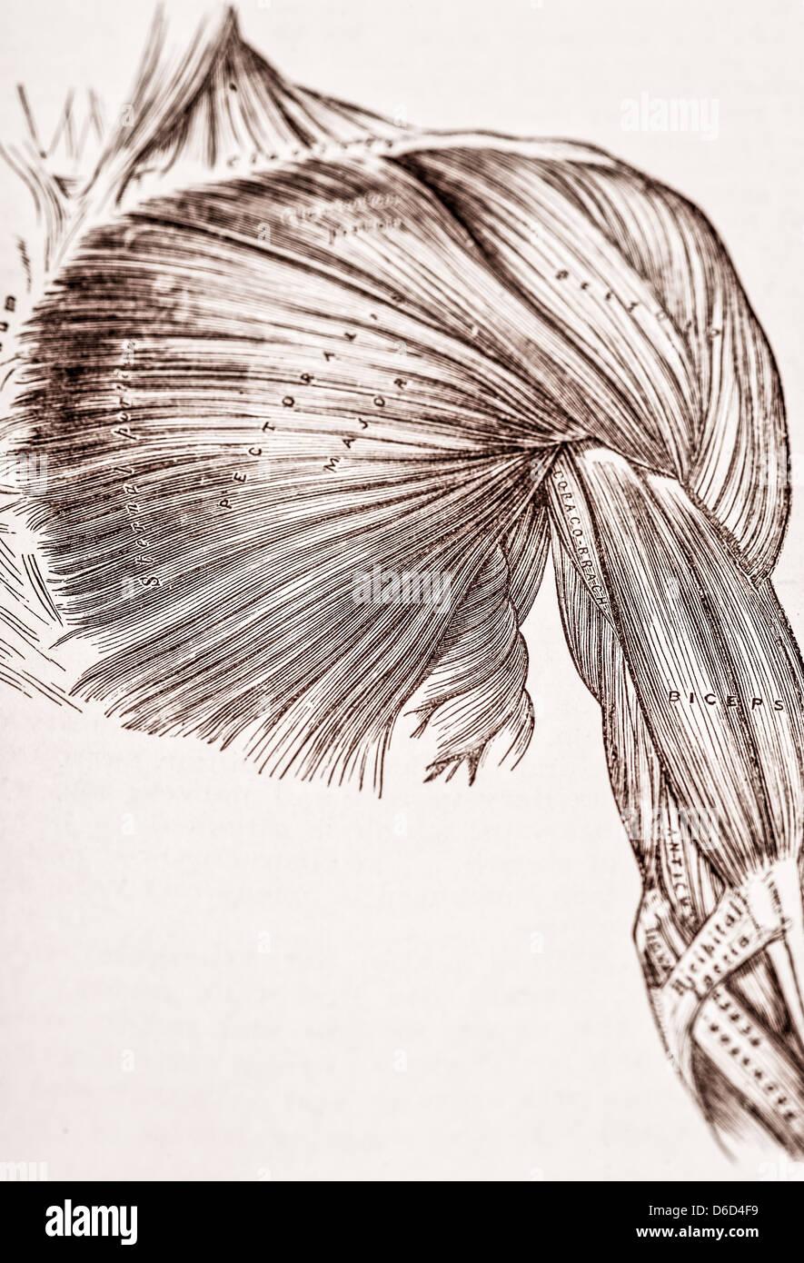 Shoulder Bones Stockfotos & Shoulder Bones Bilder - Alamy