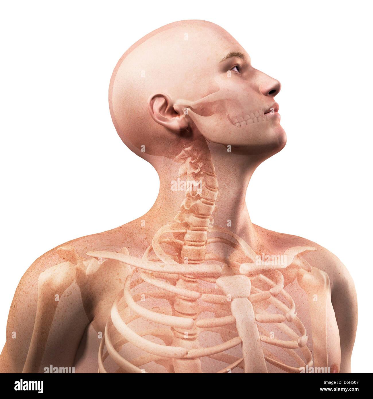 Oberkörper-Anatomie, artwork Stockfoto, Bild: 55696151 - Alamy