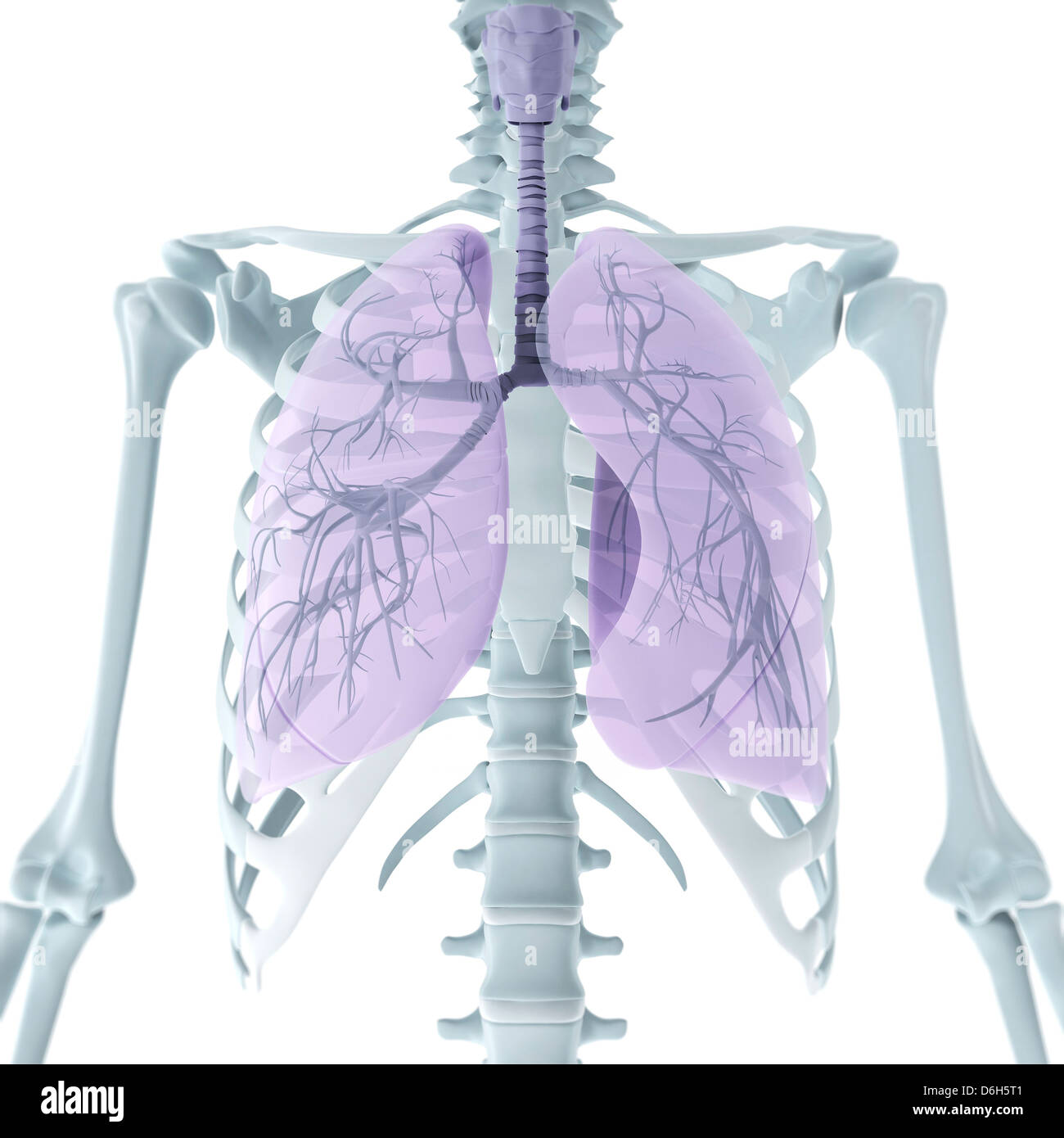 Oberkörper-Anatomie, artwork Stockfoto, Bild: 55696817 - Alamy