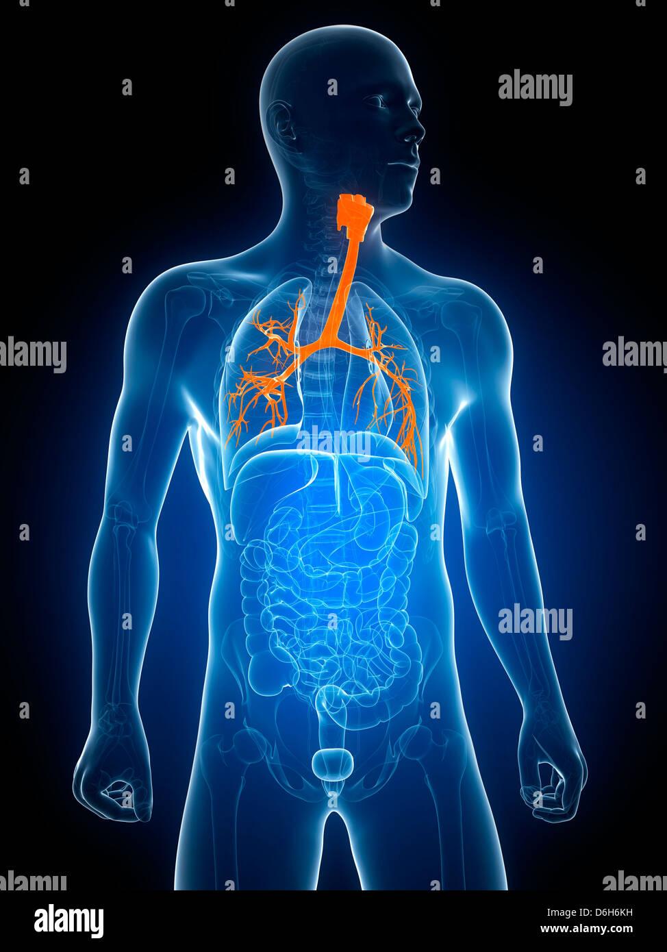 Berühmt Bronchien Ideen - Physiologie Von Menschlichen Körperbildern ...