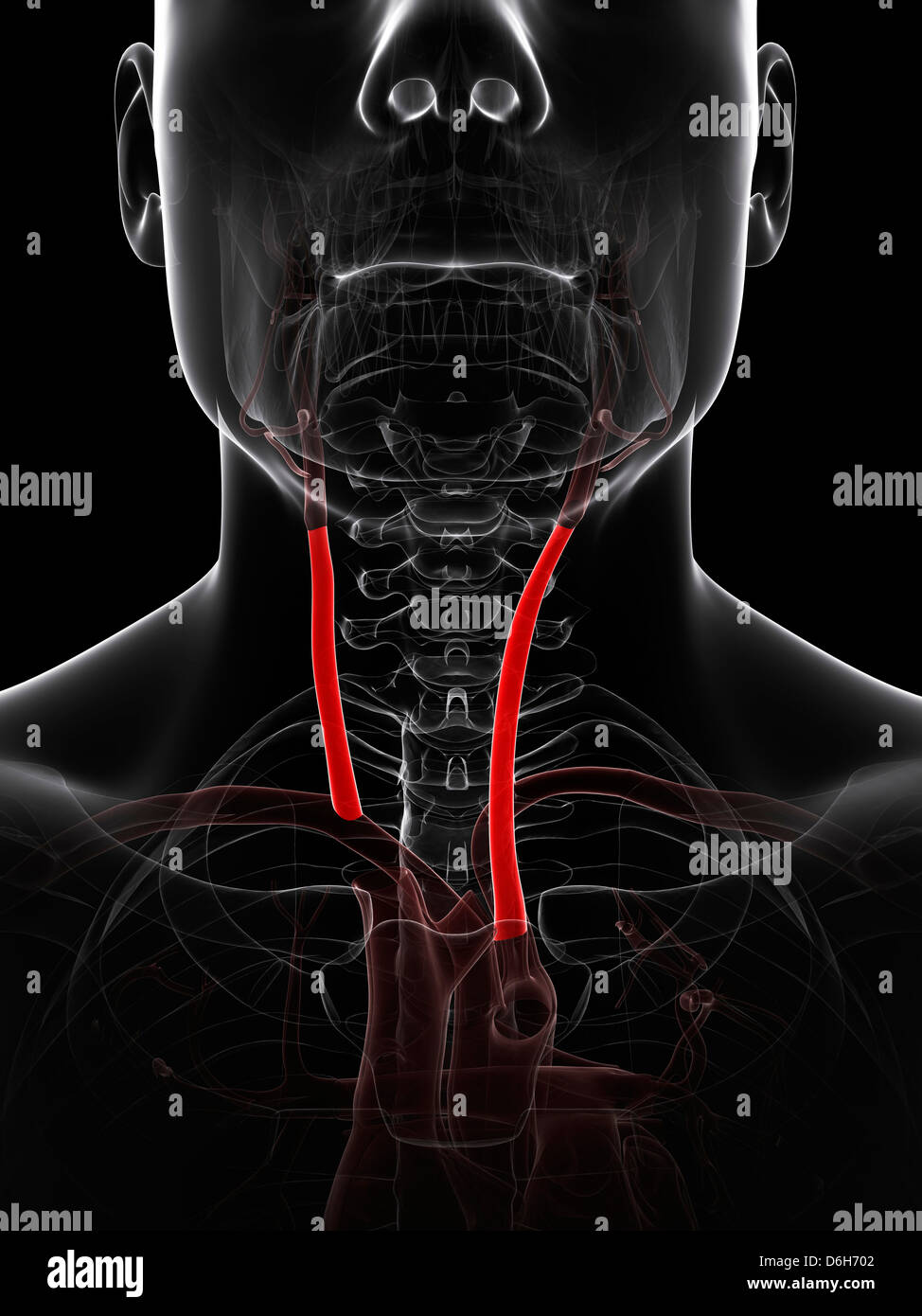 Hals-Arterien, artwork Stockfoto, Bild: 55697714 - Alamy