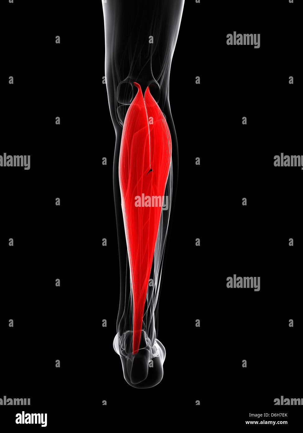 Großzügig Wadenmuskel Diagramm Zeitgenössisch - Menschliche Anatomie ...
