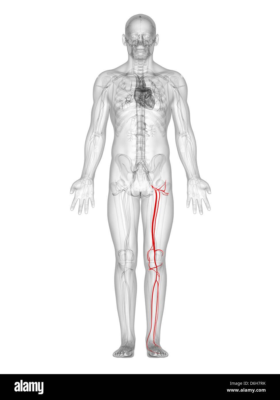 Ziemlich Untere Anatomie Extremität Arterielle Zeitgenössisch ...