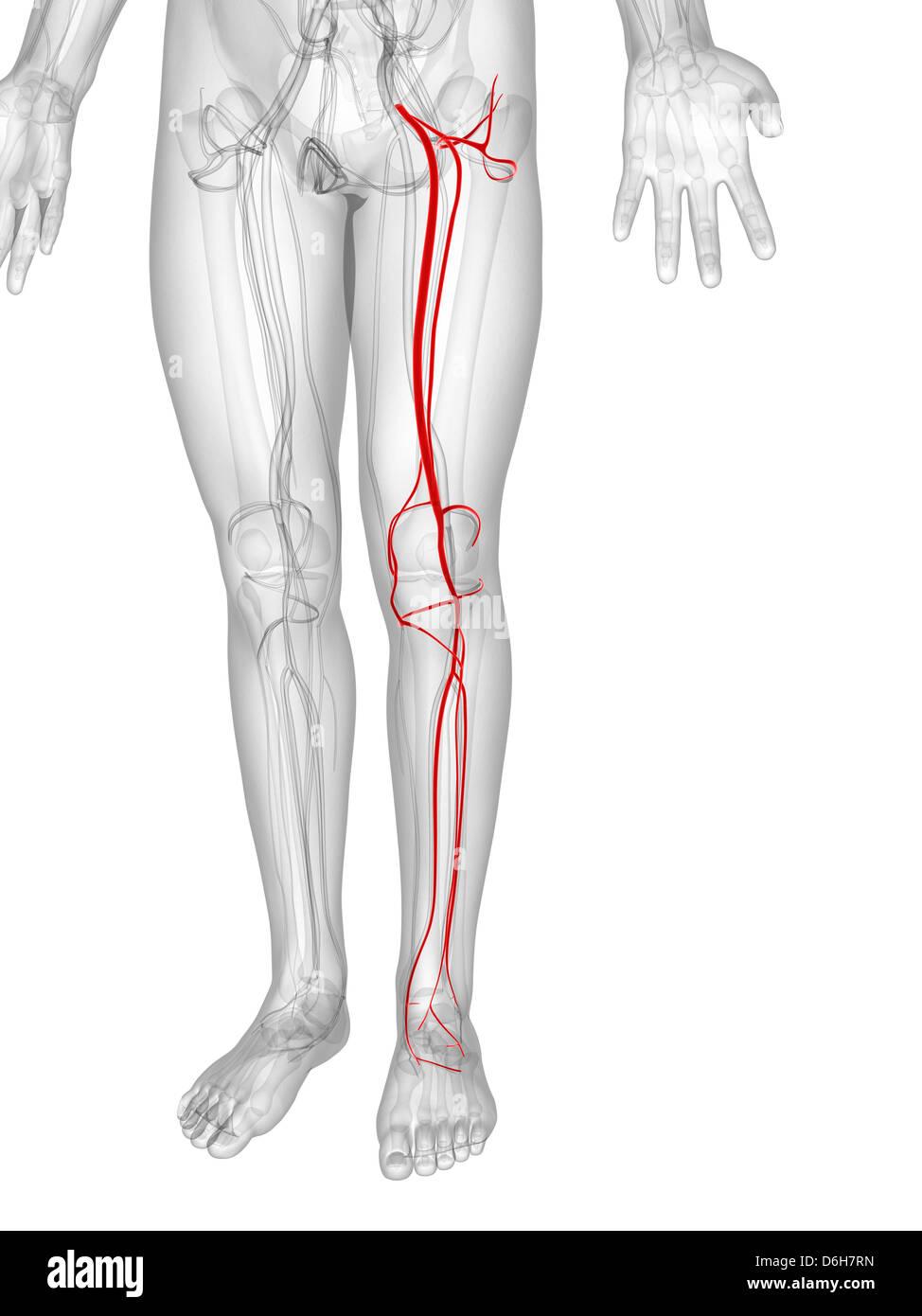 Berühmt Untere Anatomie Beinarterien Fotos - Menschliche Anatomie ...
