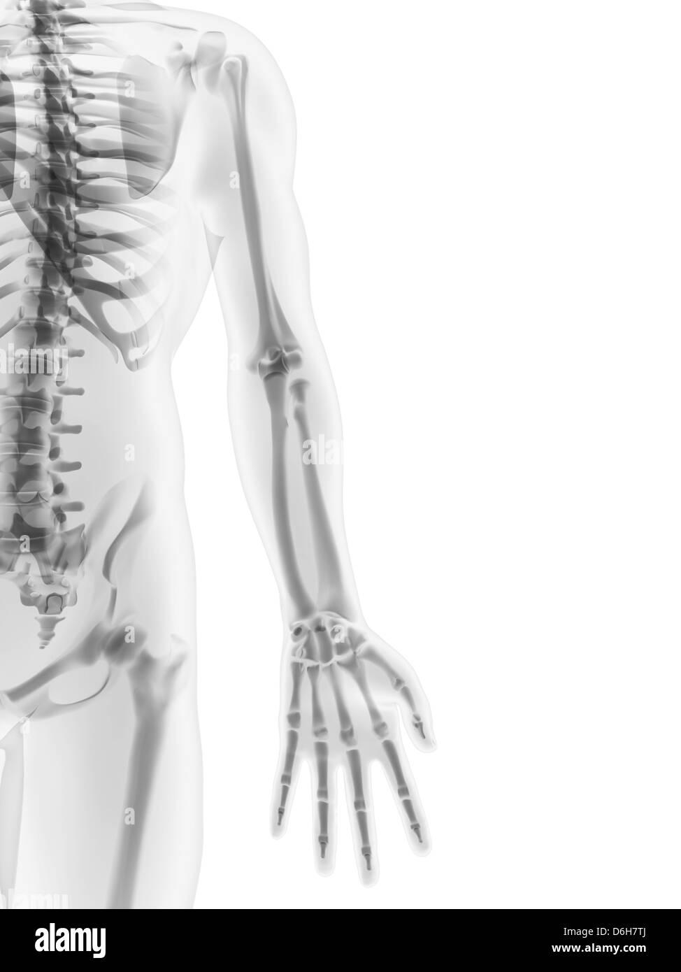 Menschliches Skelett, Kunstwerk Stockfoto, Bild: 55698402 - Alamy
