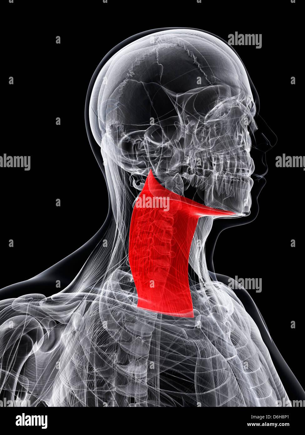Hals-Muskeln, artwork Stockfoto, Bild: 55699113 - Alamy