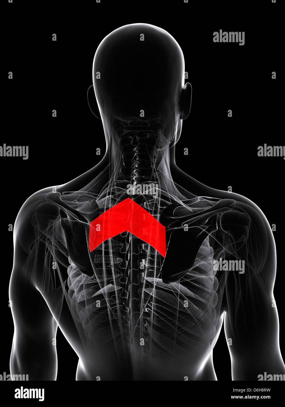 Fantastisch Anatomie Der Menschlichen Rückenmuskulatur Ideen ...