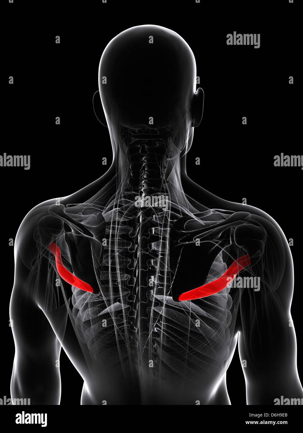 Tolle Rückenmuskel Bilder Fotos - Physiologie Von Menschlichen ...