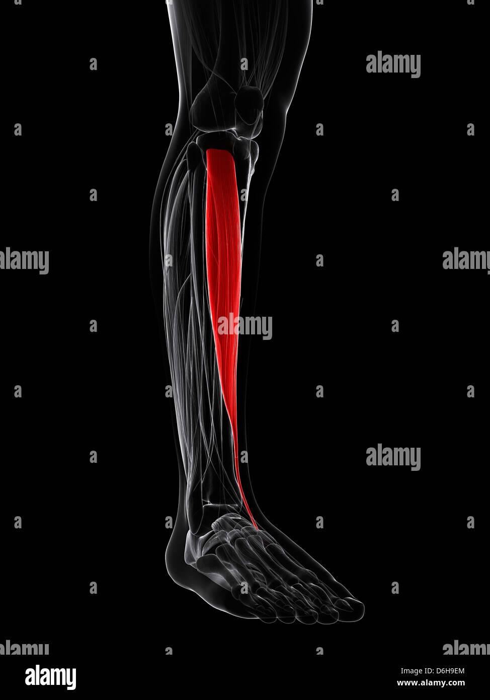 Tibialis Anterior Muscle Stockfotos & Tibialis Anterior Muscle ...