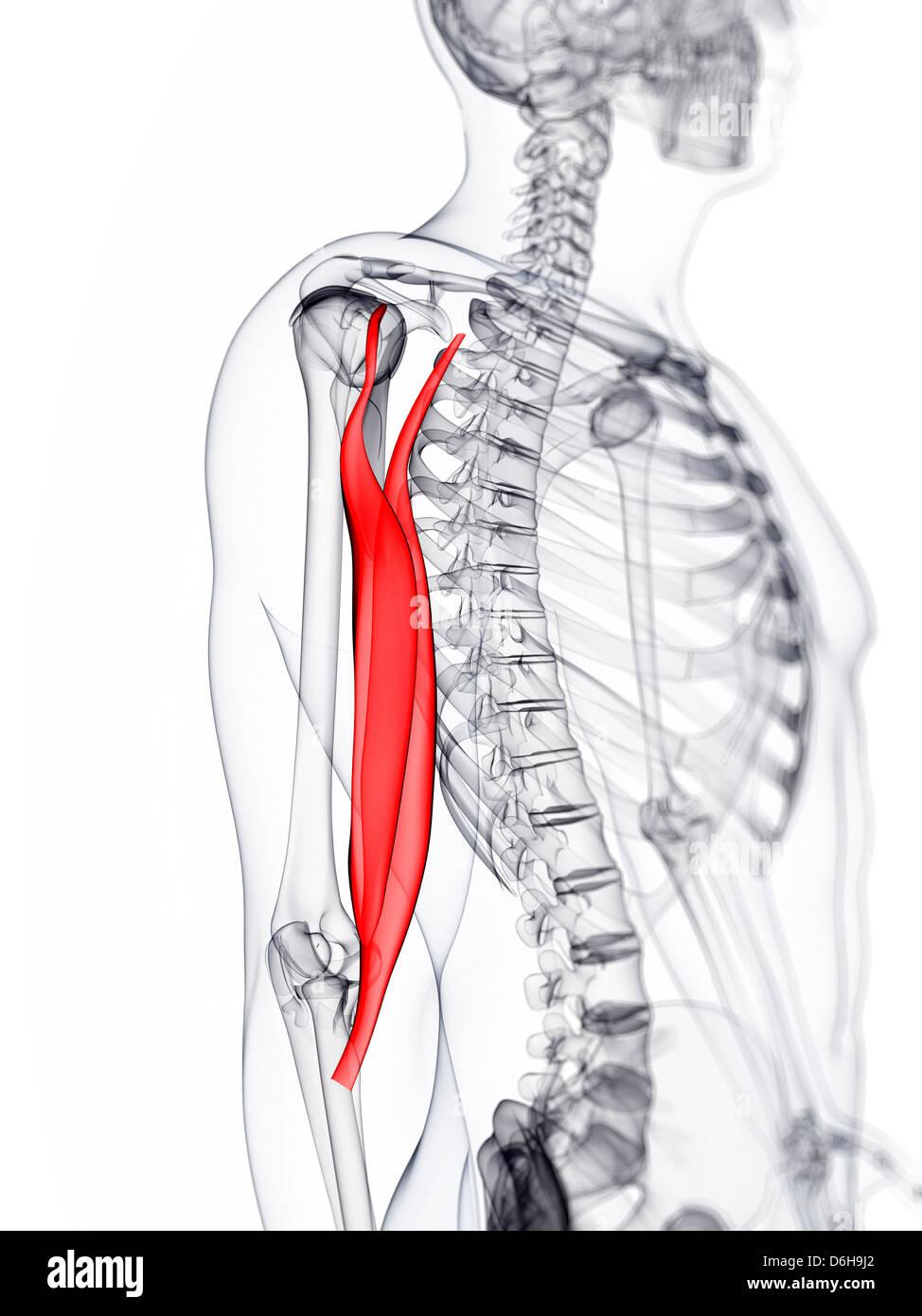 Fantastisch Anatomie Eines Muskels Zeitgenössisch - Menschliche ...