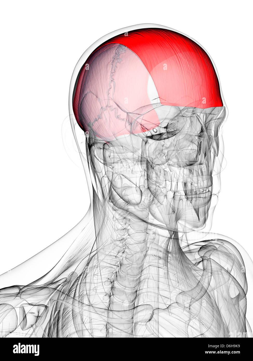 Ausgezeichnet Menschlicher Kopf Muskeln Zeitgenössisch - Physiologie ...