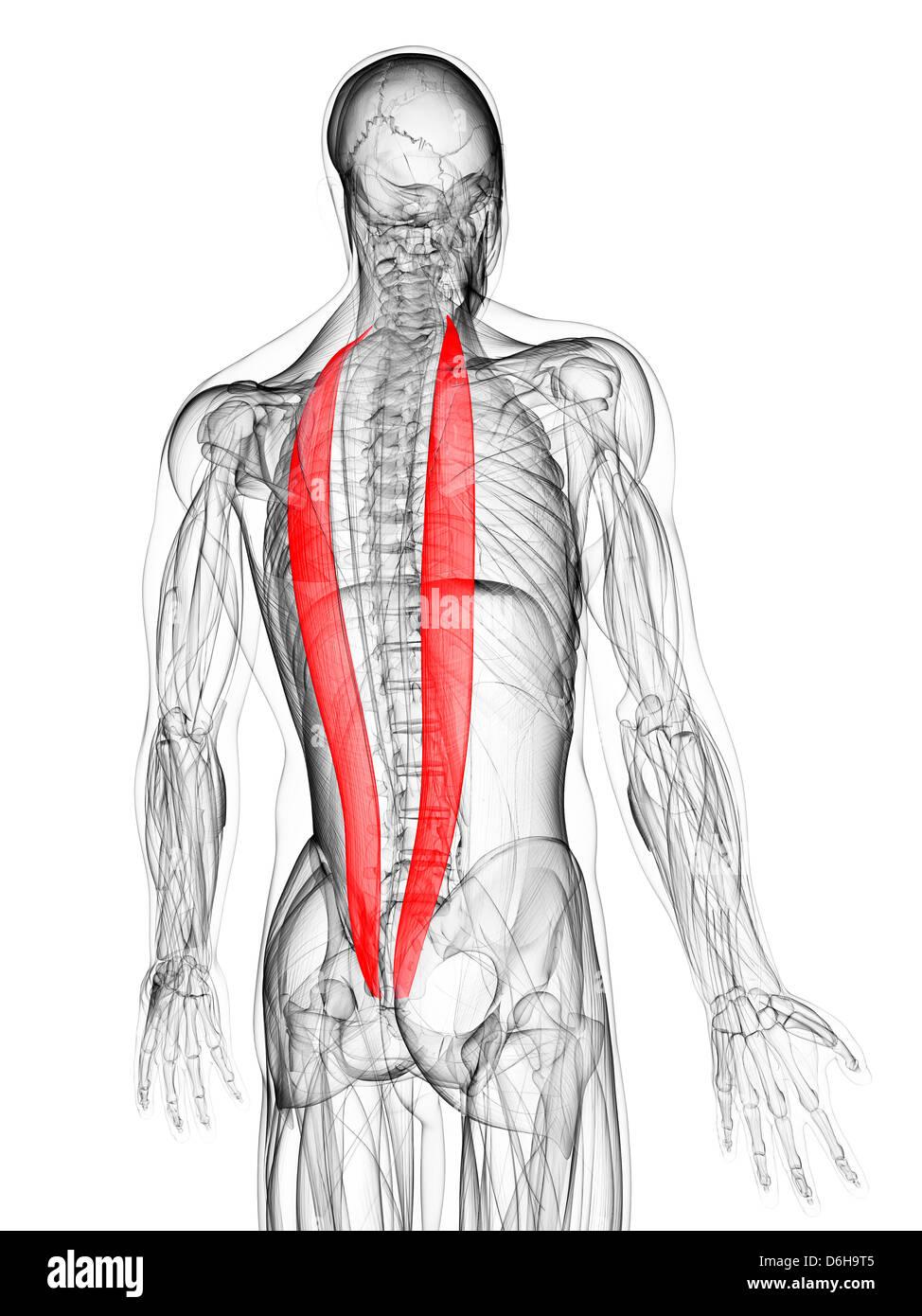 Großartig Diagramm Von Muskeln In Rücken Zeitgenössisch ...