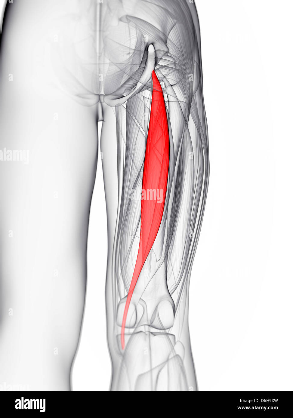 Thigh Muscle Stockfotos & Thigh Muscle Bilder - Alamy