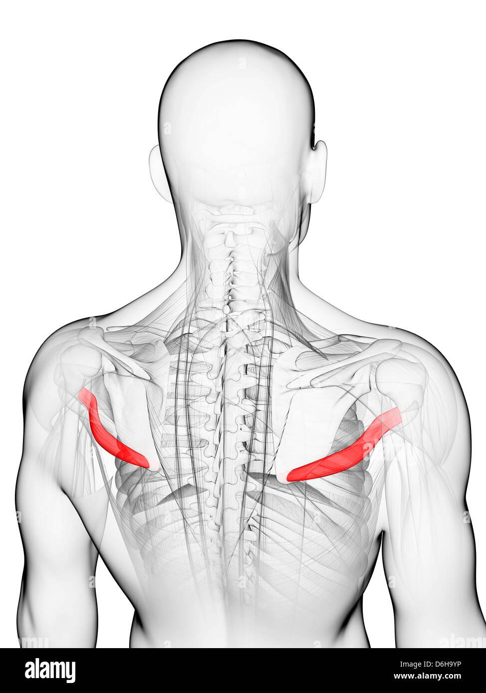 Groß Anatomie Muskeln Des Rückens Galerie - Anatomie Von ...