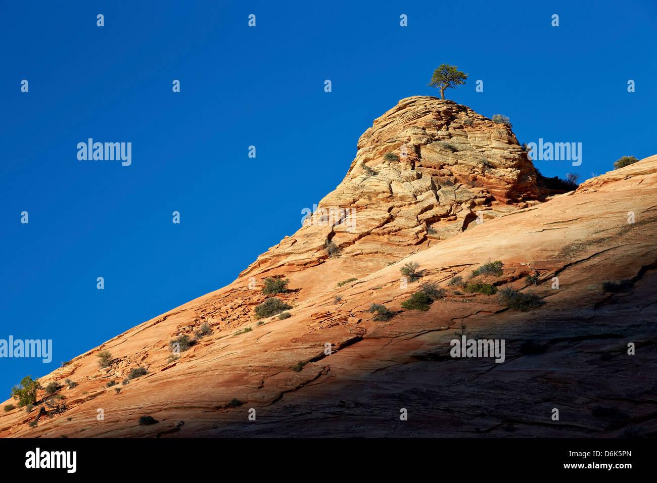 Lone Ponderosa Pine auf einer Sandsteinformation im ersten Licht, Zion Nationalpark, Utah, Vereinigte Staaten von Stockbild