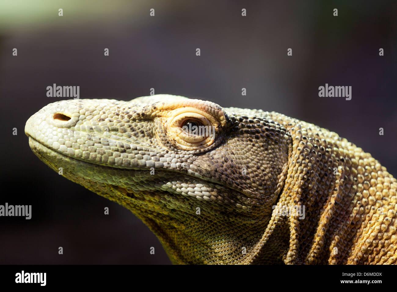 Komodo Dragon, Porträt eines Komodo Drachen. Stockfoto