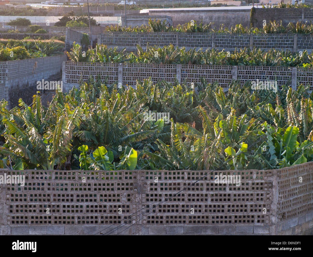 Bananenplantage in Teneriffa-Kanarische Inseln-Spanien, eingezäunt von Betonsteinen Stockfoto