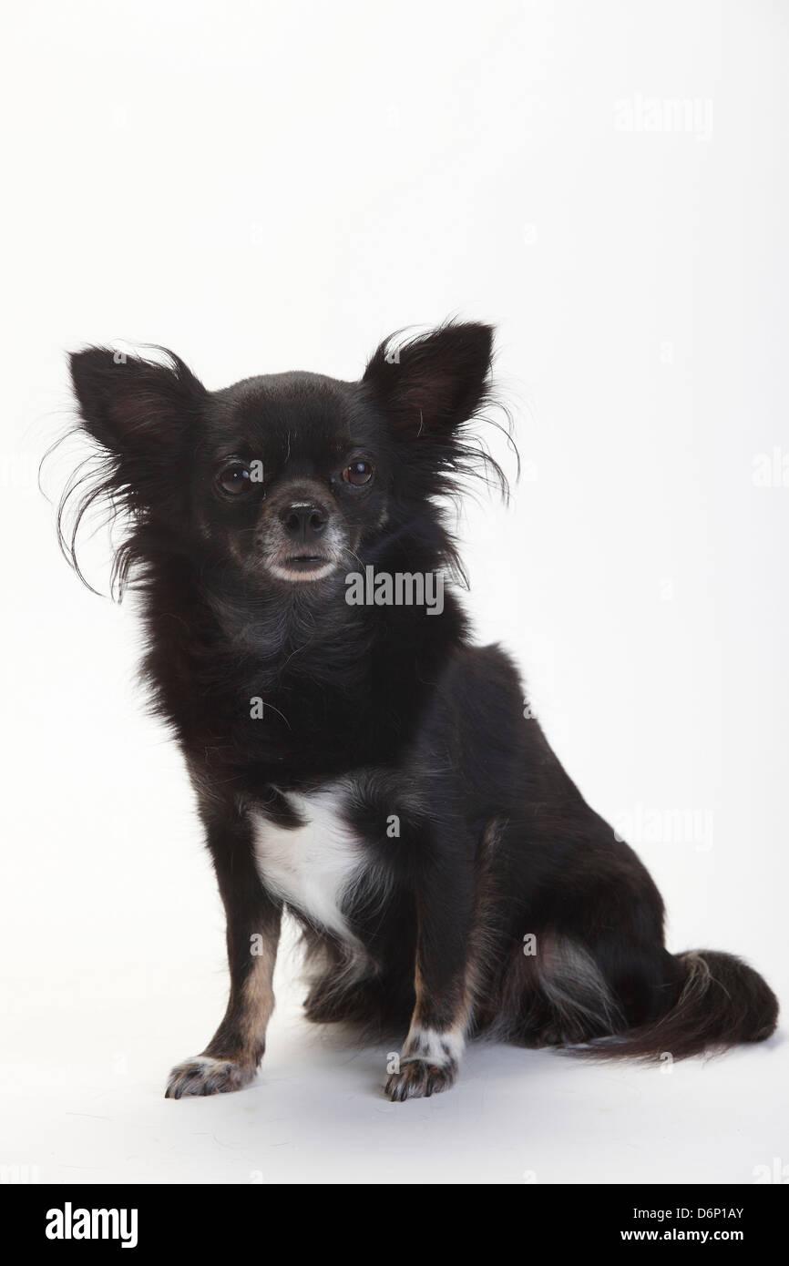 Schwarze Und Braune Chihuahua Stockfotos Und Bilder Kaufen Alamy