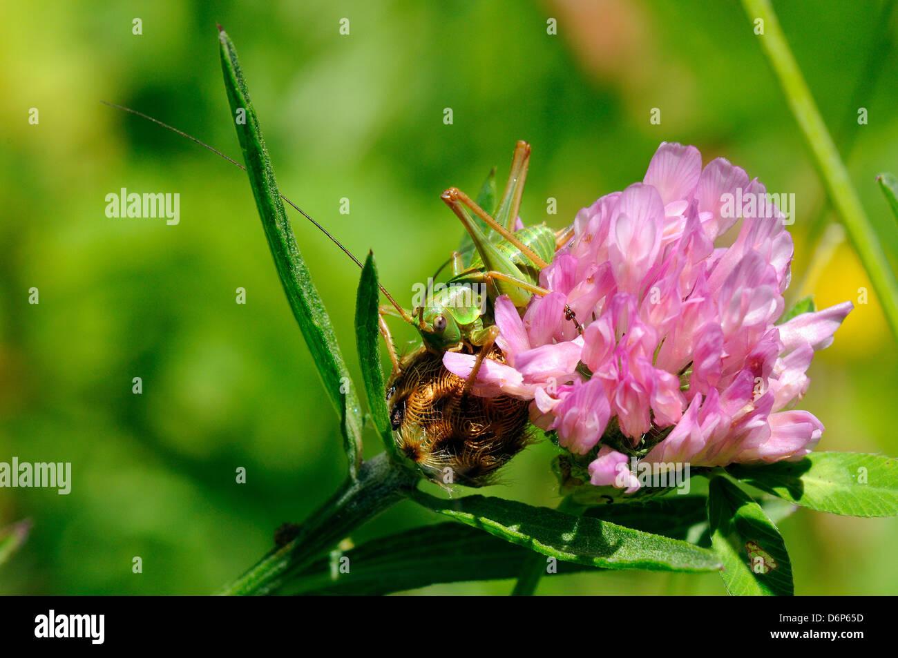 Unreife weibliche großen grünen Busch Cricket (Tettigonia Viridissima) und Klee Blume, Hecho-Tal, Spanische Stockbild