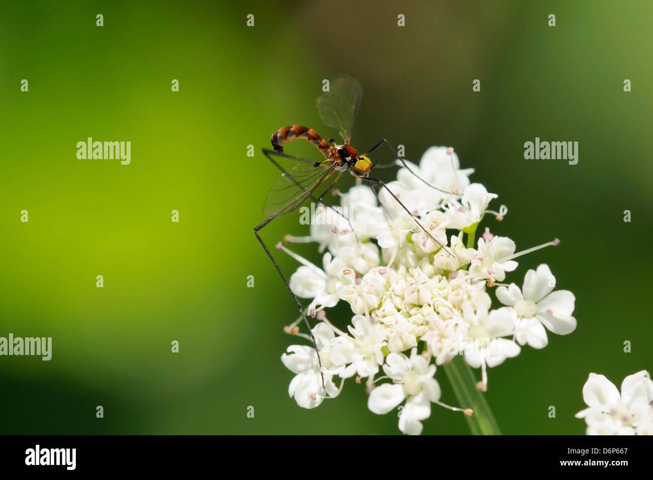 Eine seltene Net-winged Mücke (Apistomyia Elegans) Fütterung auf Dolde Blumen von einem unverschmutzten Stockbild