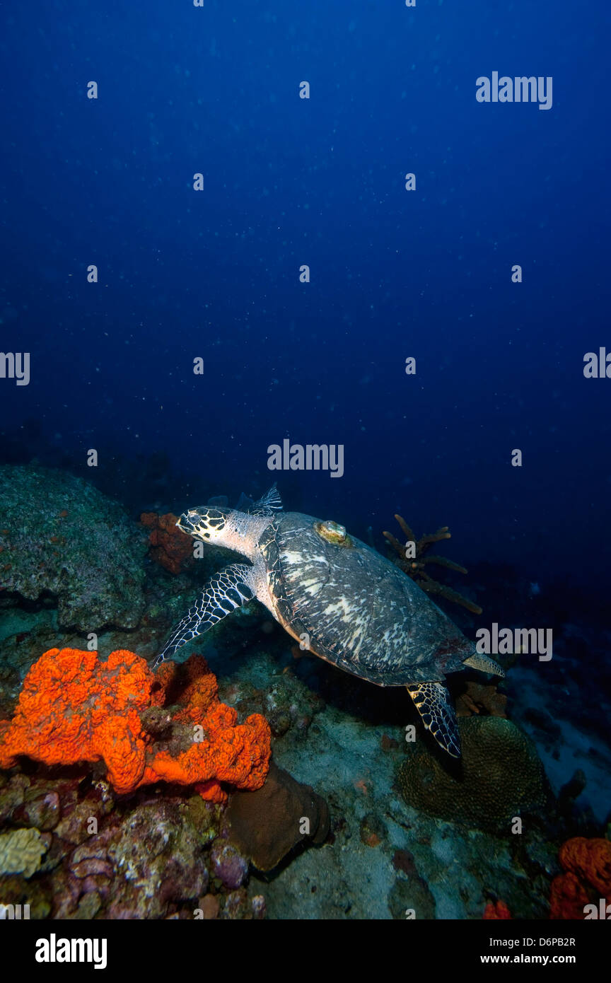 Echte Karettschildkröte (Eretmochelys) mit einer Tracking-Gerät auf den Rücken, Dominica, West Indies, Stockbild