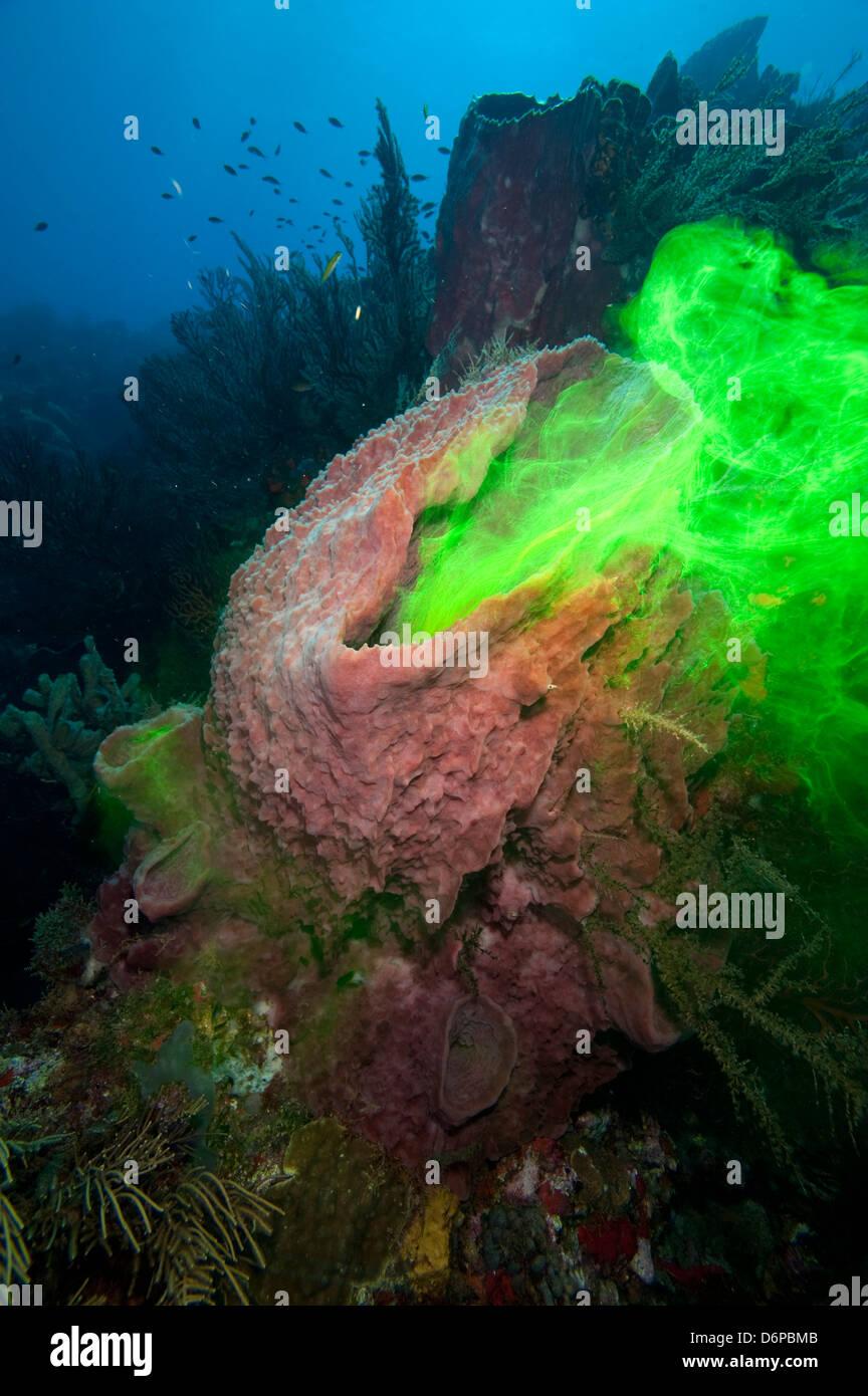Riesiger Schwamm, die zeigen, wie es mit dem Einsatz von Farbstoff, Dominica, West Indies, Karibik, Mittelamerika Stockbild