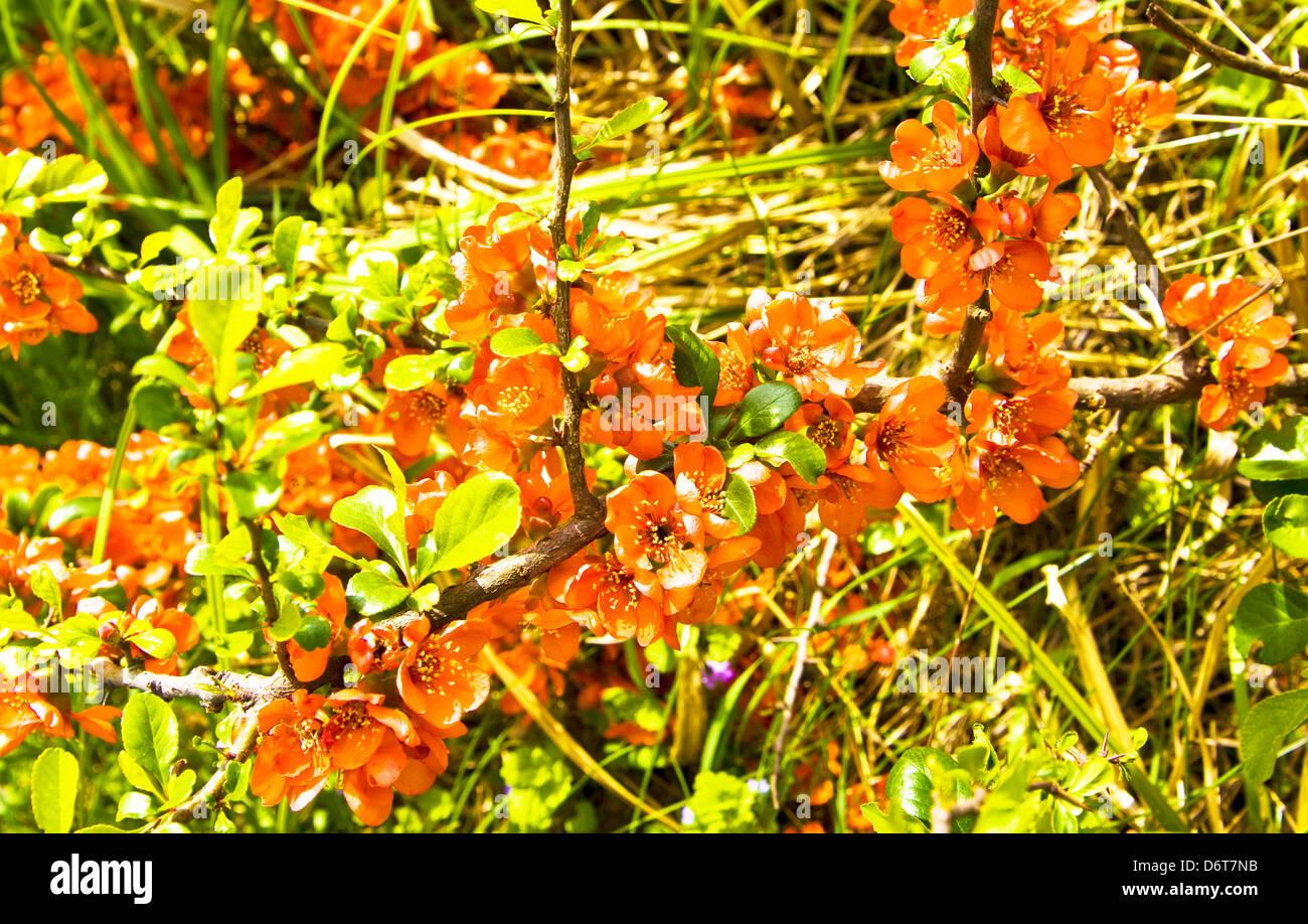 Zweig der Quitte Baum mit orangefarbenen Blüten. Stockbild