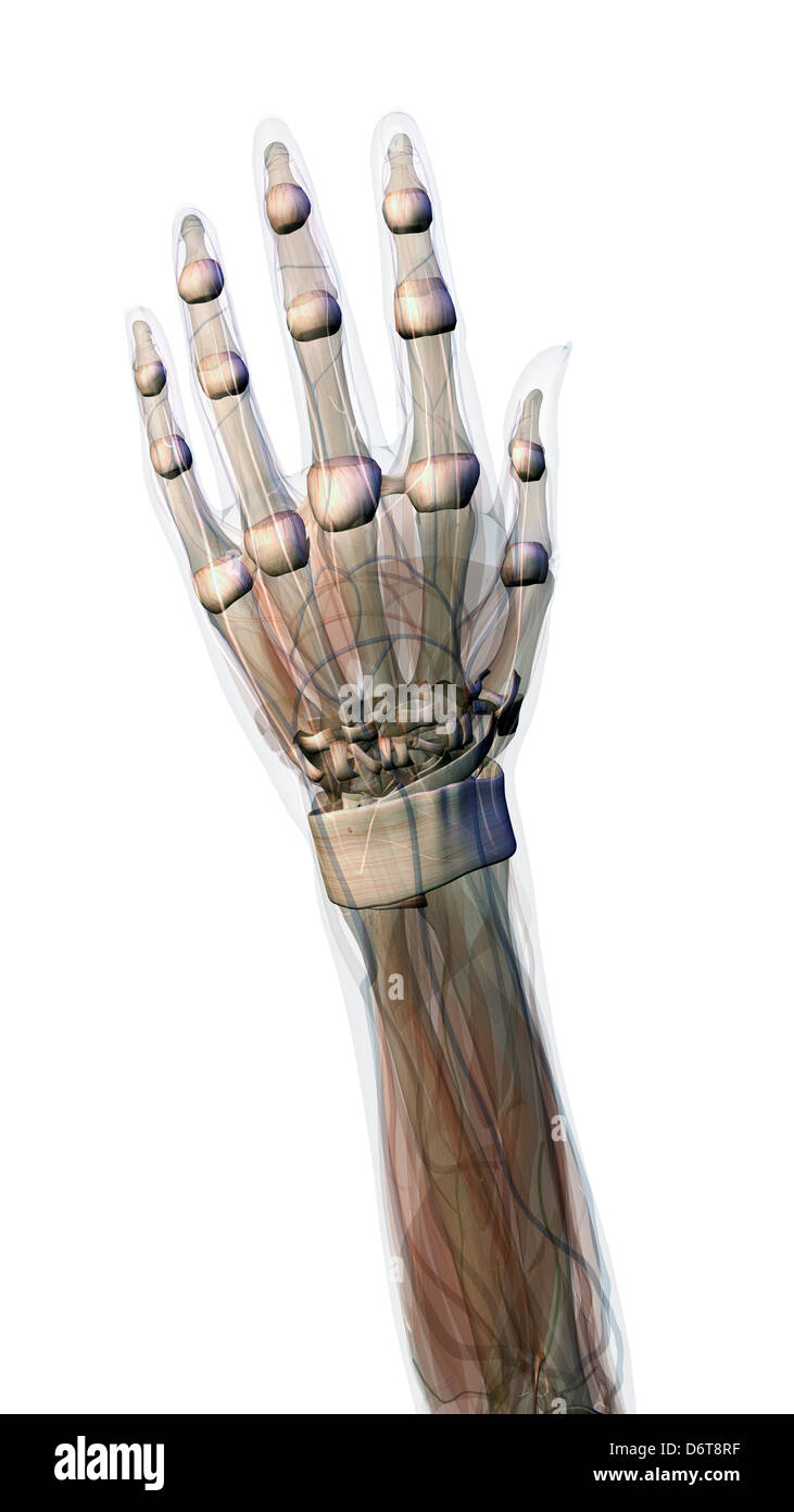 Back Of Hand Vein Stockfotos & Back Of Hand Vein Bilder - Alamy