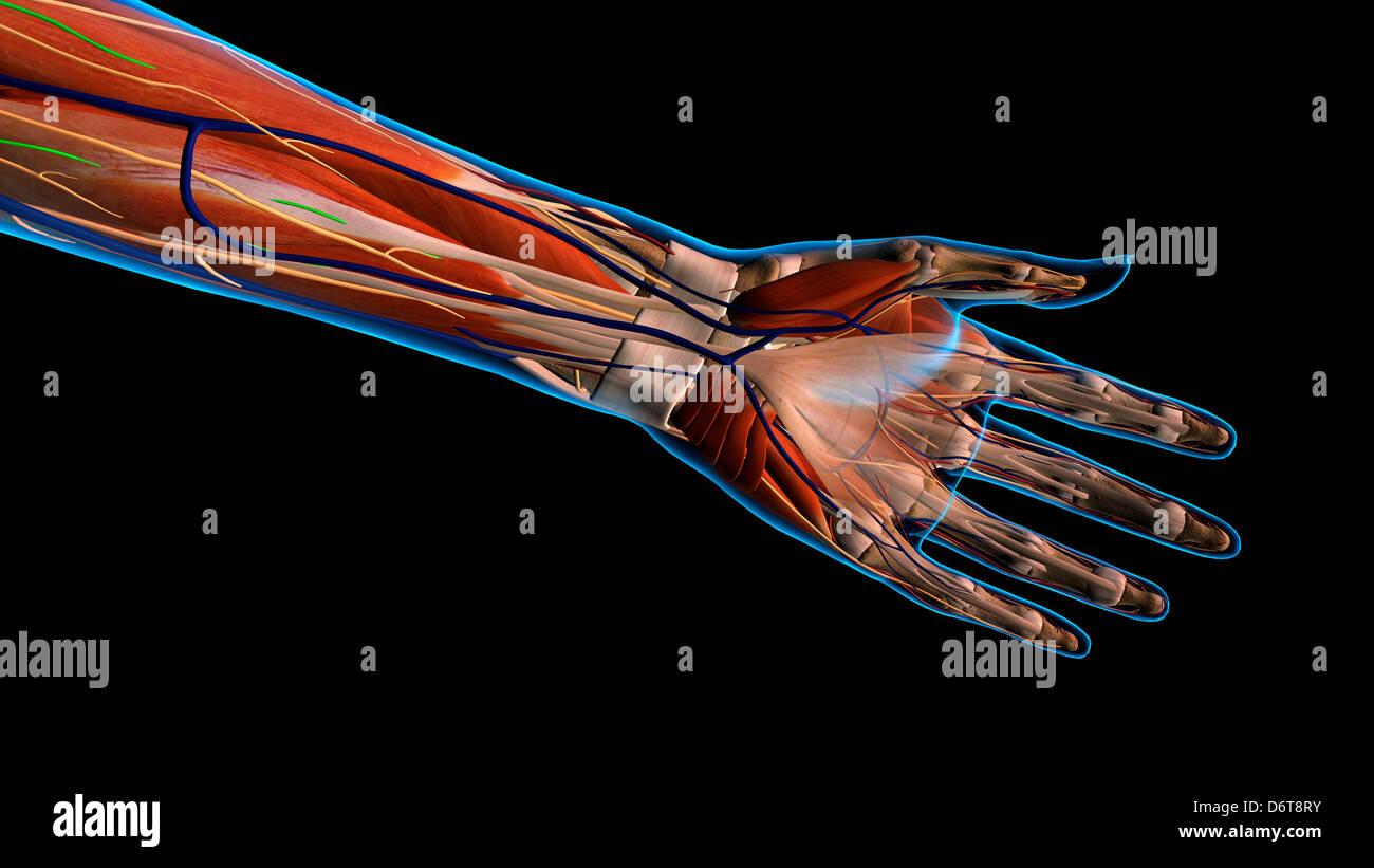 Niedlich Anatomie Der Linken Hand Und Des Handgelenks Zeitgenössisch ...