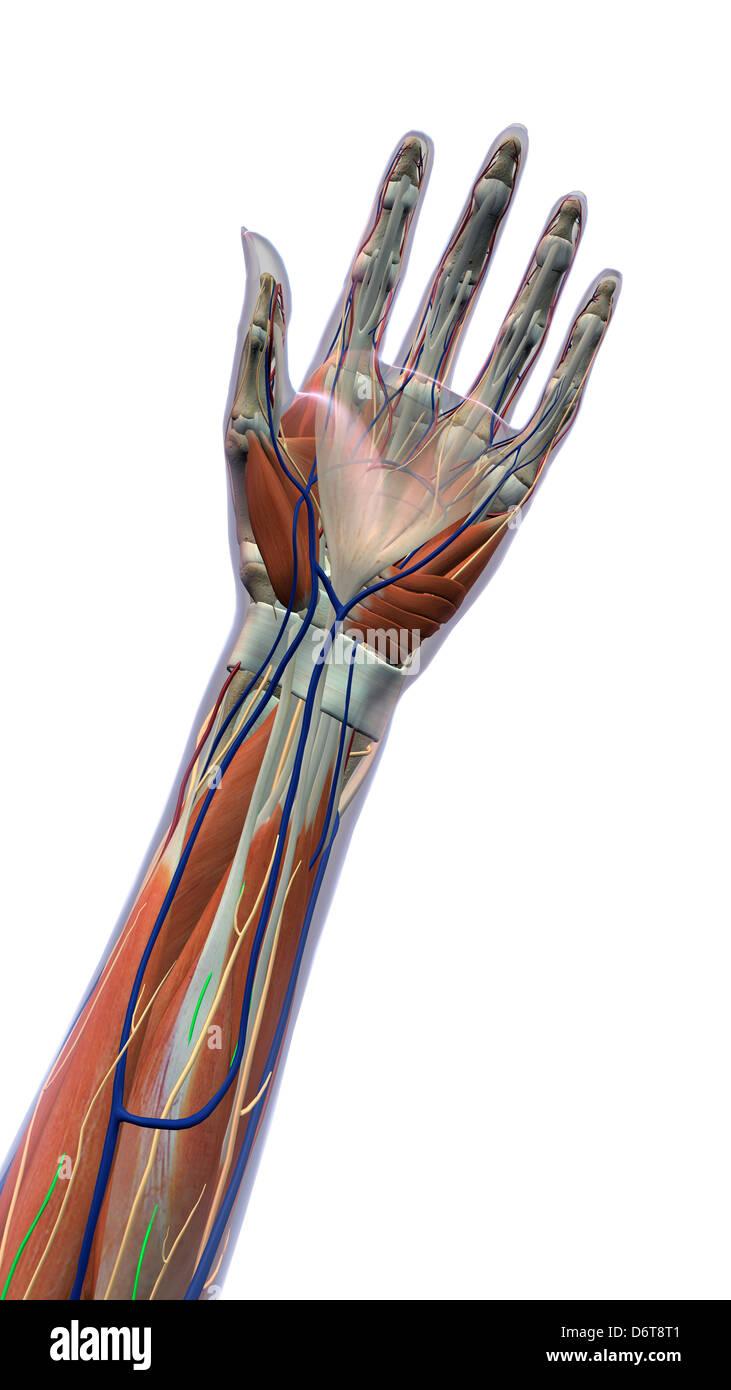 Weibliche Palmen und Handgelenk, Ansicht von ventral. XRAY Haut ...