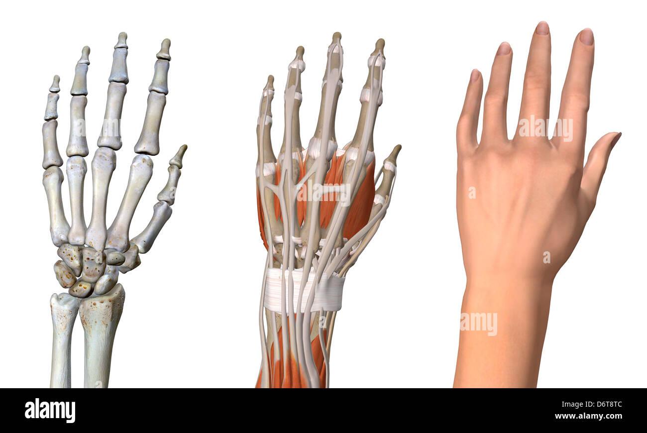 Drei Ansichten weibliche Anatomie Skelett muskuläre Handhaut ...