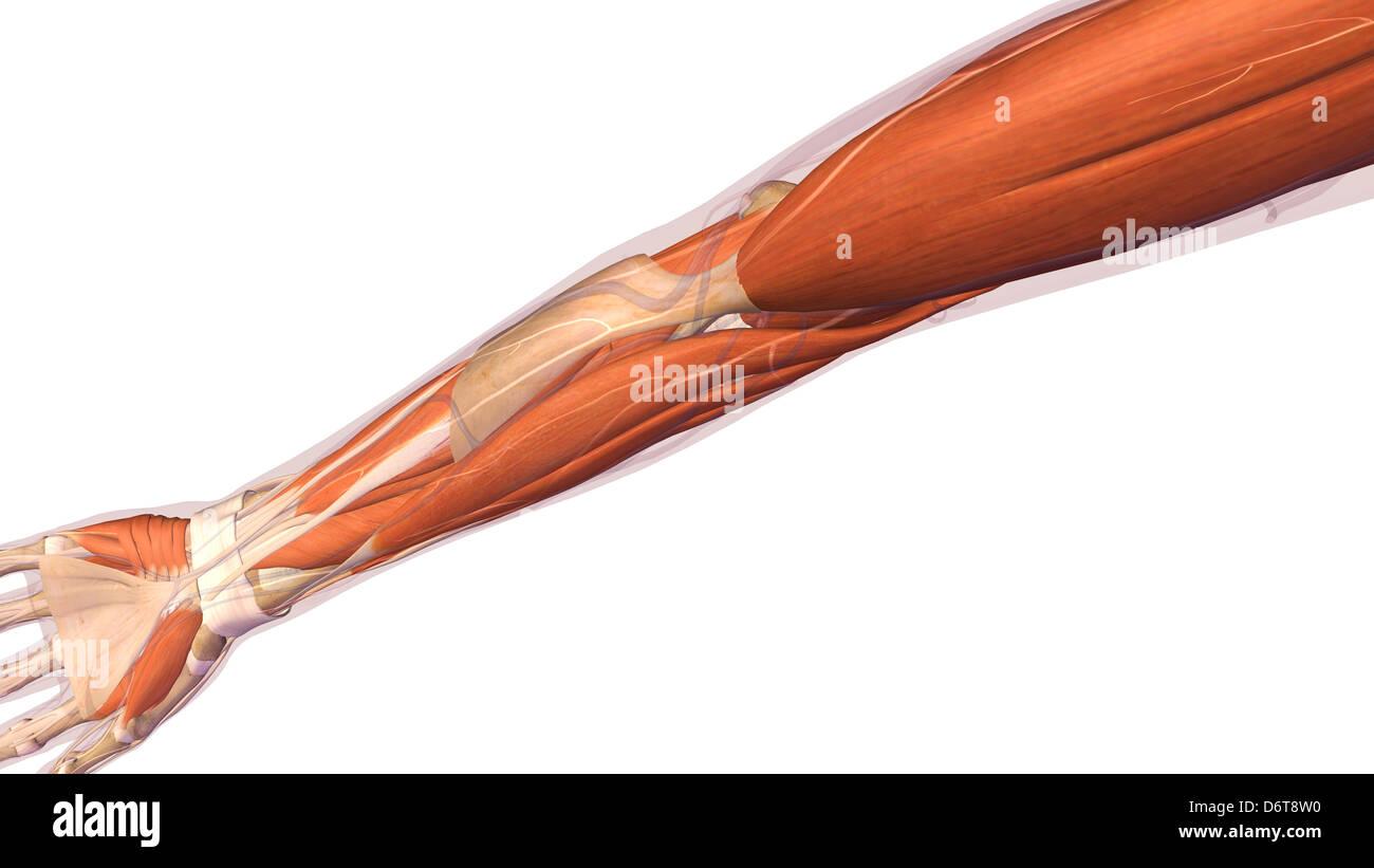 Weibliche Ellbogen und Unterarm Muskeln Anatomie, zurück, hintere ...