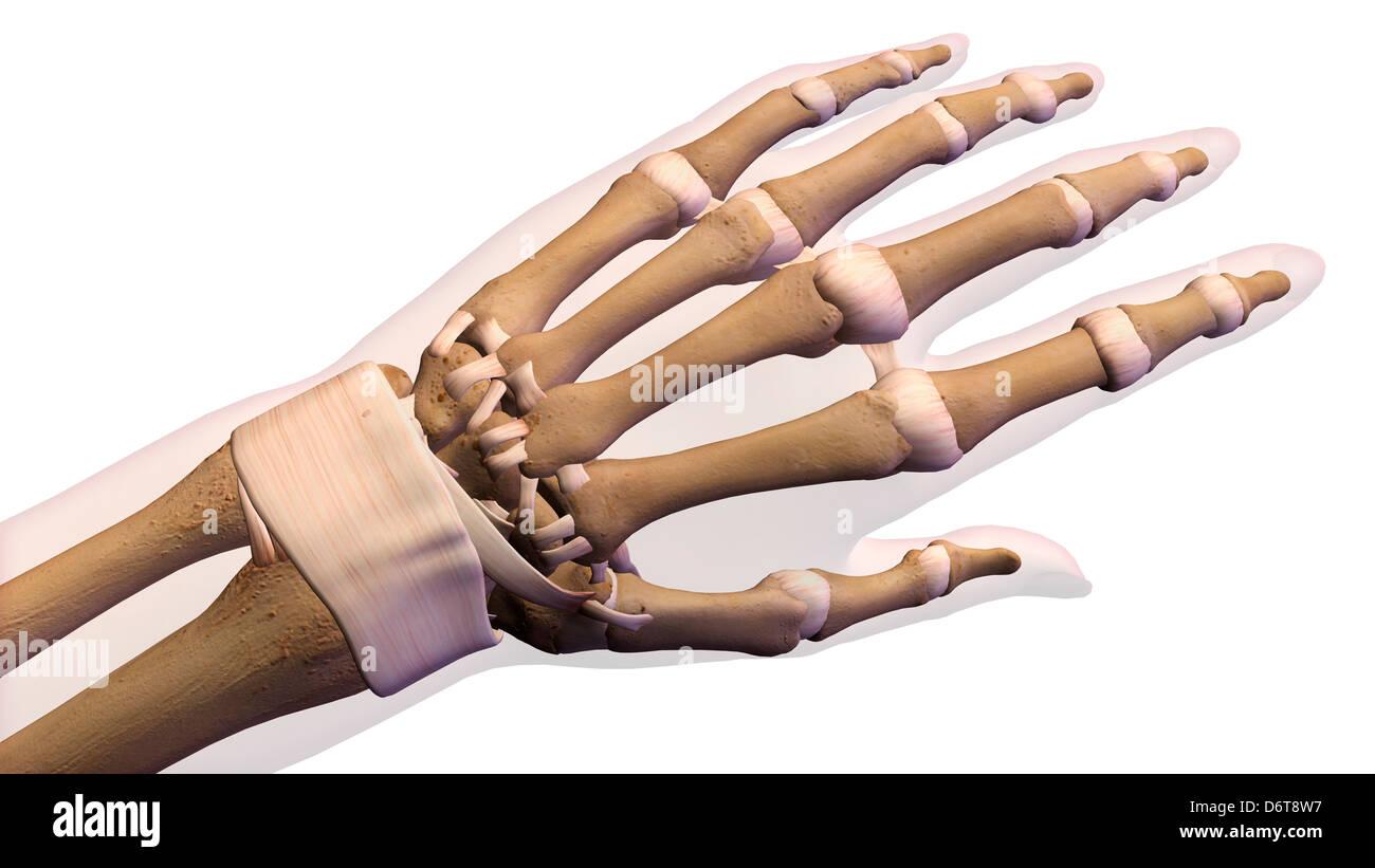Wunderbar Anatomie Der Hand Und Des Handgelenks Knochen ...