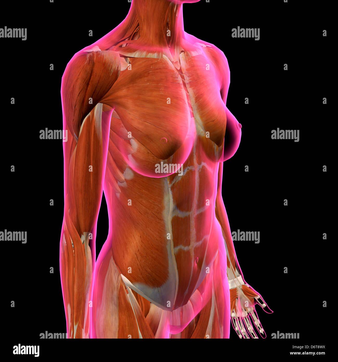 Weibliche Brust Abdominal-Muskeln Anatomie in rosa Röntgen Umriss ...