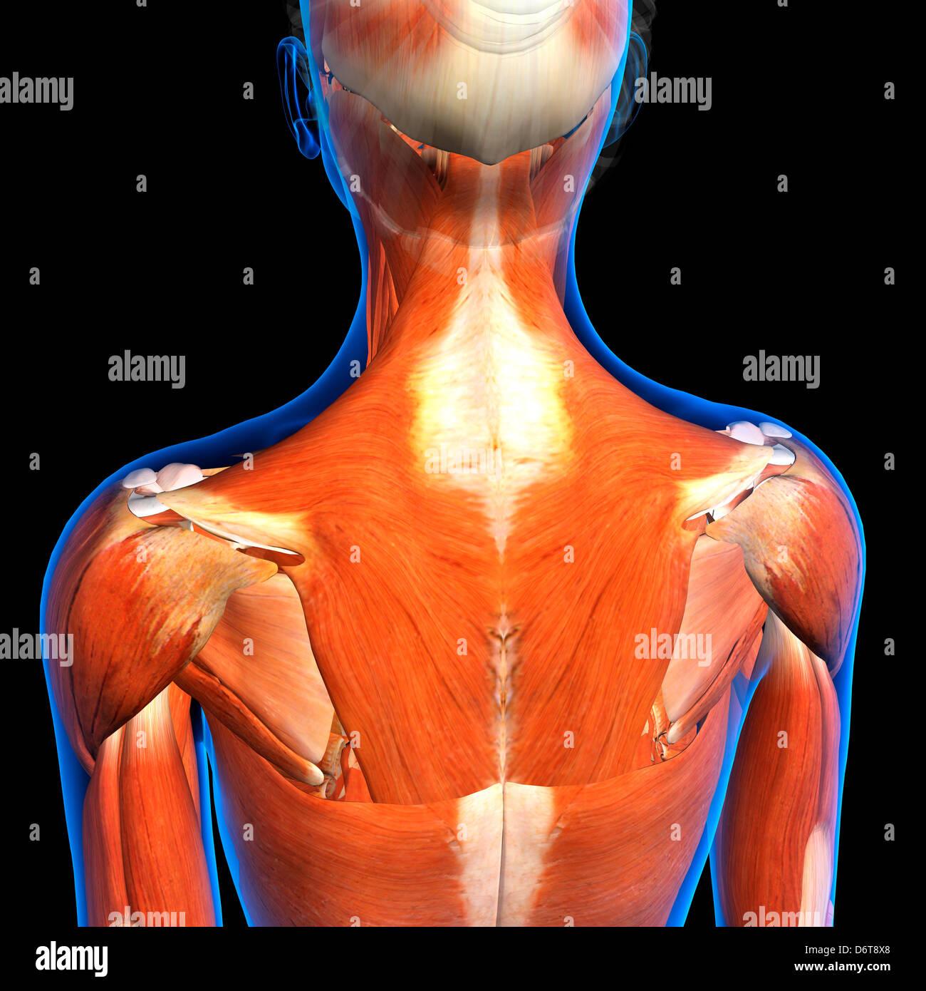 Weibliche Nacken Schulter Muskeln Anatomie in Blau x-ray Gliederung ...