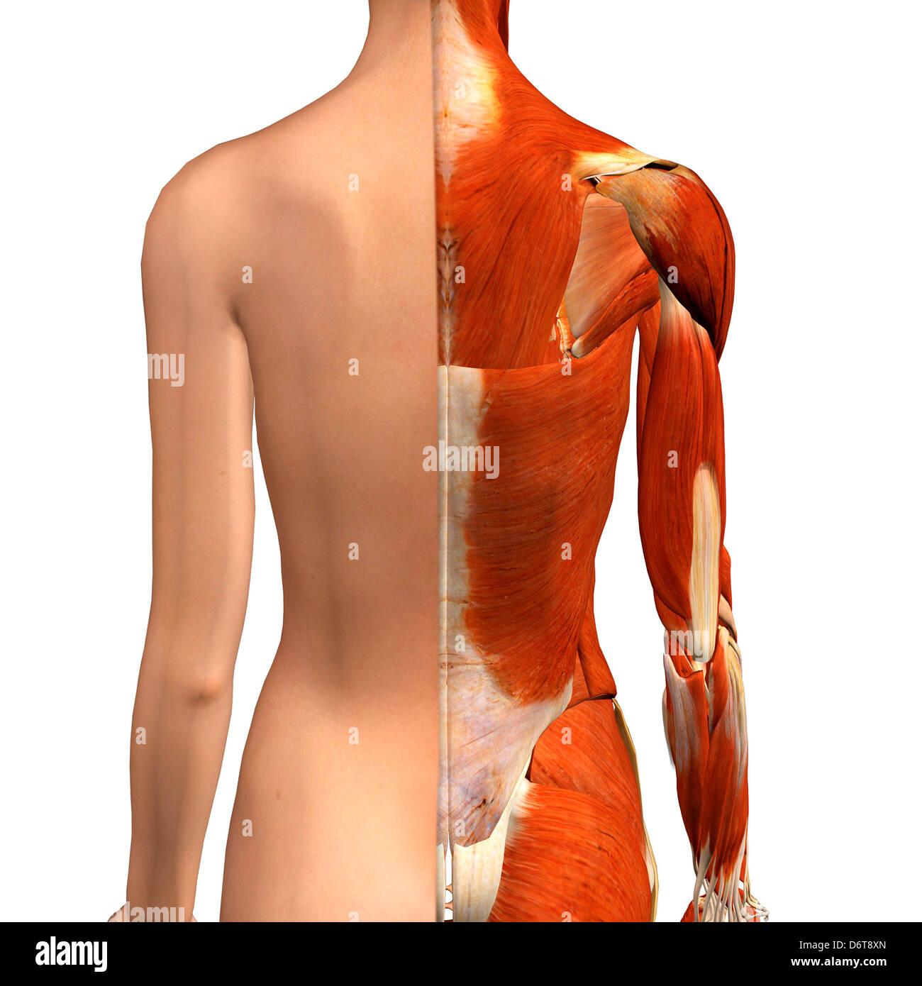 Querschnitt Anatomie der weiblichen Schulter- und Rückenmuskulatur ...